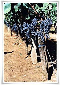 grozdje_na_trsu