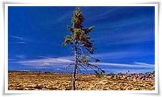 najstarije_drvo